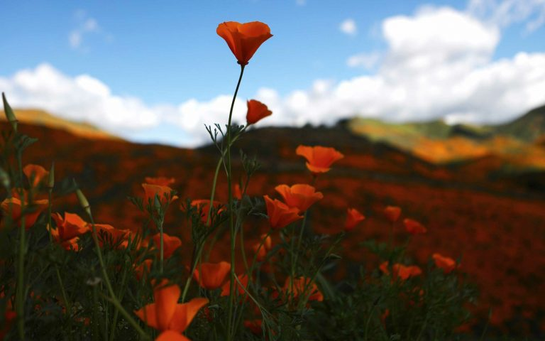 A poppy is in focus with a hilly field covered with them in the background.